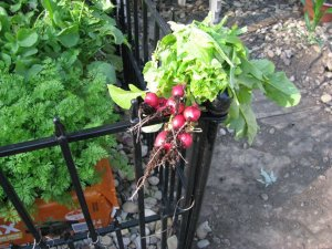 First to Harvest,  Radishes,  approx 35 days old.  June  2012